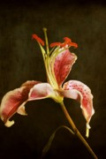 Stargazer Lily Prints - Stargazer in haze Print by Cathie Tyler