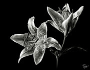 Flower Photos Photos - Stargazer Lily in Black and White by Endre Balogh