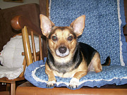 Cross Breed Photos - Staring Chihuahua by Corinne Elizabeth Cowherd