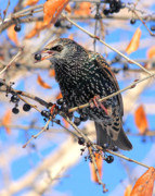 Starlings Metal Prints - Starling Metal Print by Doris Potter