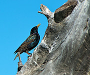 European Starling Metal Prints - Starling on a Tree Stump Metal Print by Stephen  Johnson