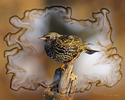 Starlings Digital Art Posters - Starling On His Perch Poster by J Larry Walker