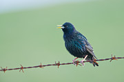 Attitude Photos - Starling Sturnus Vulgaris, Adult Singing, Scotland by Mike Powles