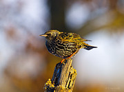 Starlings Digital Art Metal Prints - Starling Waiting His Turn Metal Print by J Larry Walker
