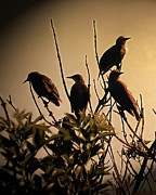 Starling Metal Prints - Starlings Metal Print by Sharon Lisa Clarke