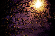 Purple Sky Framed Prints - Stars in an Earthly Sky Framed Print by Vivienne Gucwa