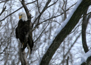 Paula Guttilla - Starved Rock Eagle
