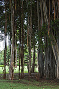 Roger Mullenhour - Stately Banyan Tree