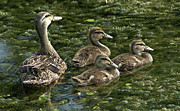 Mallard Ducklings Photos - Stay Close to Mother by John Wright