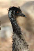 Emu Originals - Steady Neck by Padmanabhan Ramchander