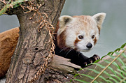 Critter Framed Prints - Stealthy Red Panda Framed Print by Greg Nyquist