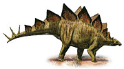 Stegosaurus Prints - Stegosaurus Armatus, A Prehistoric Era Print by Sergey Krasovskiy
