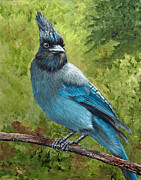 Stellar Jay Prints - Stellar Jay Print by Dee Carpenter