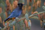 Focusing Metal Prints - Stellar Jay, Haines, Alaska Metal Print by Robert Postma
