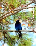 Stellar Jay Prints - Stellar Jay Majesty Print by Will Borden