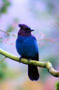 Stellar Photos - Stellar Jay by Nick Gustafson