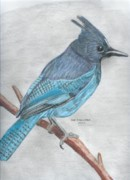 Stellar Drawings Posters - Stellars Jay Poster by Don  Gallacher