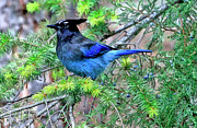 Blue Jay Digital Art - Steller Jay by James Steele