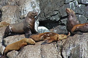 Sea Lion Photos - Steller by Rick  Monyahan