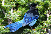 Bluejay Metal Prints - Stellers Jay 2 Metal Print by Sharon  Talson