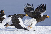 Eagle Framed Prints - Stellers Sea Eagle Chase Framed Print by Sergey Gorshkov