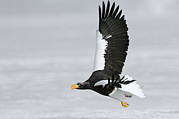 Eagle Framed Prints - Stellers Sea Eagle in Kamchatka Framed Print by Sergey Gorshkov