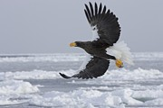 Ice Floes Art - Stellers sea eagle in by Roy Toft