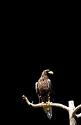 The Bird Photo Prints - Stellers Sea Eagle On Branch Print by Tommi Pohjalainen