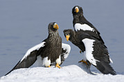 Eagle Framed Prints - Stellers Sea Eagle Trio Framed Print by Sergey Gorshkov
