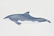 Whale Digital Art - Steno Bredanensis, Rough-toothed Dolphin, Side View by Martin Camm