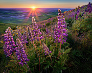 Lens Flare Posters - Steptoe Butte Lupine At Sunset Poster by Richard Mitchell - Touching Light Photography