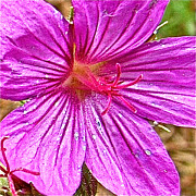 Montana Digital Art - Sticky Geranium near Memorial Falls Trail off Highway 89-MT  by Ruth Hager