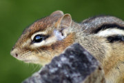 Rodent Posters - Still  Chipmunk Poster by Cathy  Beharriell