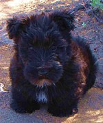 Scottish Terrier Puppy Prints - Still for a Second Print by Michele Penner