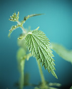 Poisonous Framed Prints - Stinging Nettle Framed Print by Lawrence Lawry