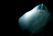 Ghostly Photo Posters - Stingray Poster by Jane Rix