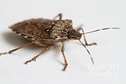Stink Bug Posters - Stink Bug Poster by Photo Researchers