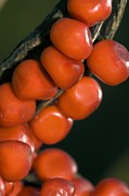 Seedpod Photos - Stinking Iris (iris Foetidissima) Berries by Paul Harcourt Davies