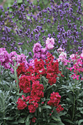 Combinations Framed Prints - Stock Flowers (matthiola Incana) Framed Print by Archie Young