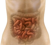 Stomach Photos - Stomach And Intestines, Artwork by Claus Lunau