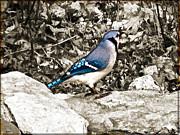 Stone Blue Jay Print by Debra     Vatalaro