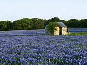 Abandoned Buildings Framed Prints - Stone Shed in Field of Bluebonnets Framed Print by Jeremy Woodhouse