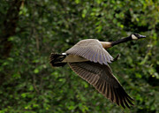 Canada Goose Photos - Stop Action Canada Goose -  0993c0345a by Paul Lyndon Phillips