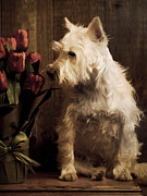 Westie Framed Prints - Stop and Smell the Flowers Framed Print by Edward Fielding