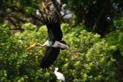 Travel Prints - Stork in Flight Print by Nila Newsom