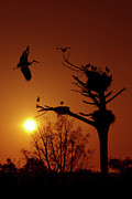 Flying Photos - Storks by Carlos Caetano