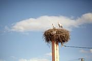 Storks Print by Copyright Adrianko