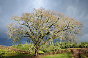 Vineyard Scene Prints - Storm Approaching Valley Oak Print by Mark Zukowski