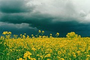 Light Green Posters - Storm Over Canola Poster by Shirley Sirois