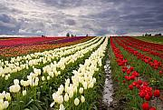Skagit Valley Posters - Storm over Tulips Poster by Mike  Dawson